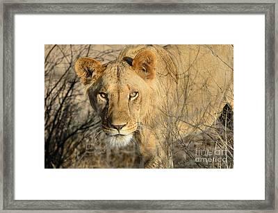 Lion Framed Print by Alan Clifford