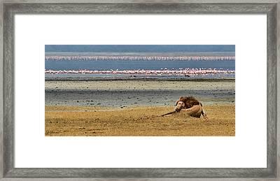 Lion And Flamingos Framed Print by Joe Bonita