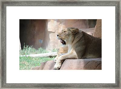 Lion At Brookfield Zoo In Chicago Il Framed Print by Peter Ciro