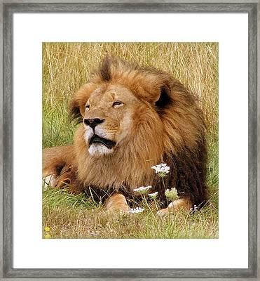 Lion Bouquet Framed Print by Judy Garrett