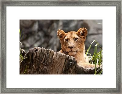 Lion Cub Framed Print by Darren Strubhar
