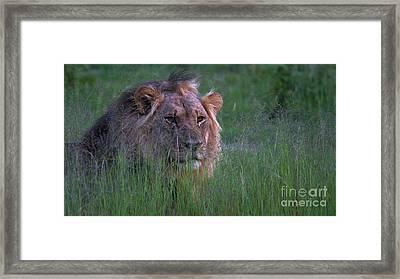Lion In Grass Framed Print