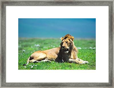 Lion King Framed Print by Sebastian Musial