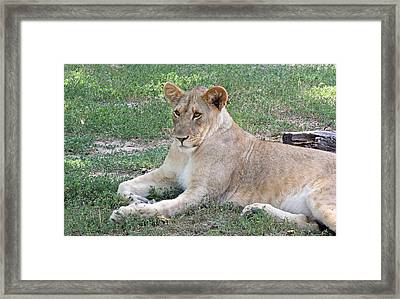 Lion Mama Framed Print by Becky Lodes