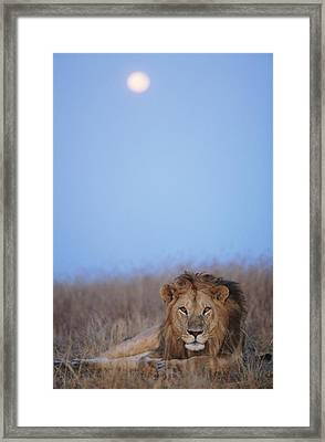Lion (panthera Leo) Resting In Grass Under Setting Full Moon Framed Print by Paul Souders
