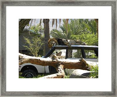 Lion Sleeping Framed Print by Brittany Roth