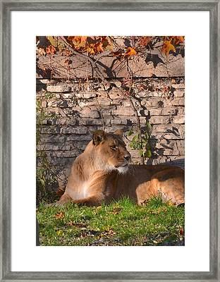 lion Territory Framed Print