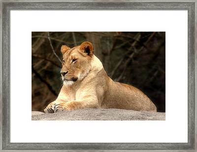 Lioness - Queen Of The Jungle Framed Print