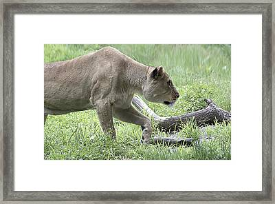 Lioness Framed Print by Yosi Cupano