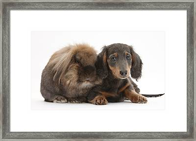 Lionhead-cross Rabbit And Dachshund Pup Framed Print by Mark Taylor