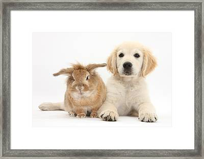 Lionhead-cross Rabbit And Golden Framed Print