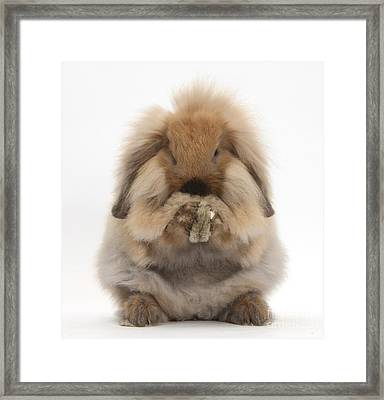 Lionhead X Lop Rabbit Grooming Framed Print by Mark Taylor
