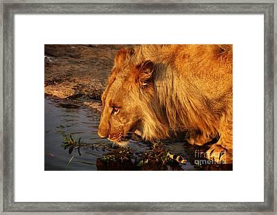 Lion's Pride Framed Print by Andrew Paranavitana