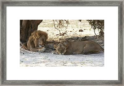 Lions Sleep Framed Print
