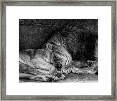 Lions Sleep Tonight Framed Print