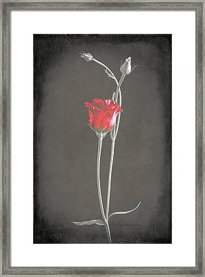 Lisianthus Framed Print by Fiona Messenger