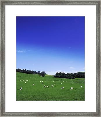 Lissard, Co Meath, Ireland Sheep Framed Print by The Irish Image Collection