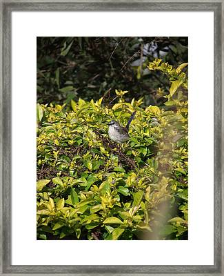 Little Bird Framed Print by Coral Dudley