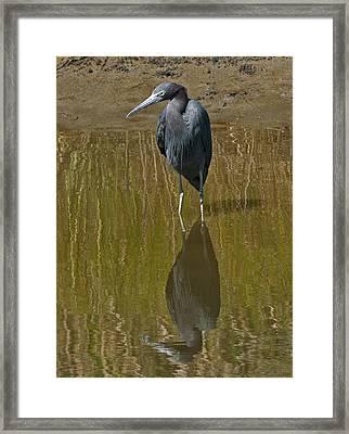 Little Blue Heron Assateague Island Framed Print