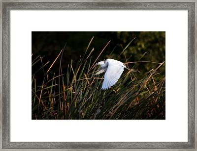 Framed Print featuring the photograph Little Blue Heron Before The Change To Blue by Steven Sparks