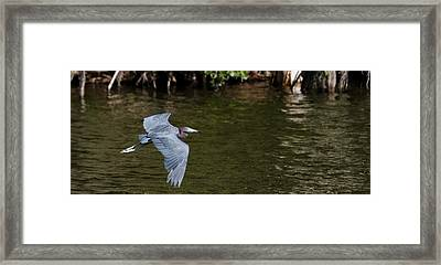 Little Blue Heron In Flight Framed Print by Mike Rivera