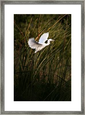 Framed Print featuring the photograph Little Blue Heron On Approach by Steven Sparks