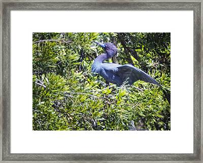 Little Blue Heron Framed Print by Phill Doherty