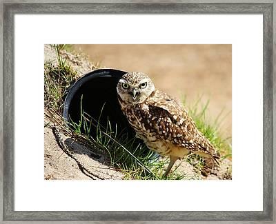 Little Burrowing Owl Framed Print by Paulette Thomas