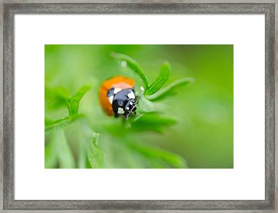Little Climbing Lady Bug Framed Print