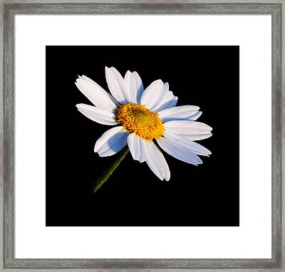 Little Daisy Framed Print by Karen Harrison