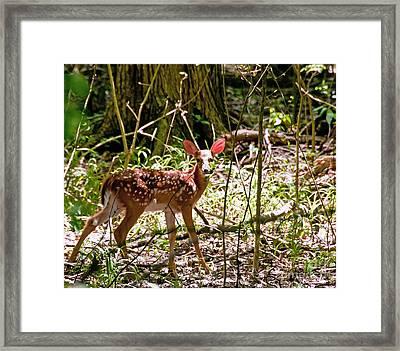 Little Deer Framed Print by Bob Niederriter