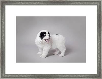 Little Landseer Puppy Portrait Framed Print by Waldek Dabrowski