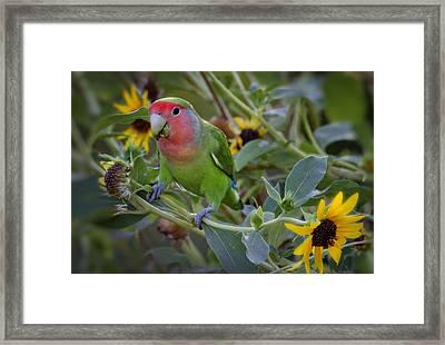 Little Lovebird Framed Print