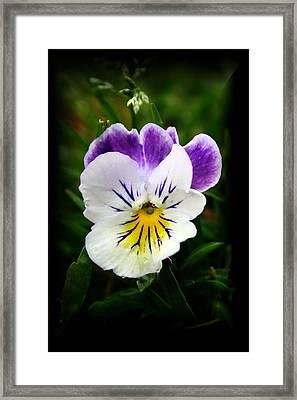 Little Pansy2 Framed Print