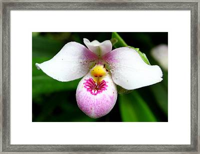Little White And Pink Orchid Framed Print