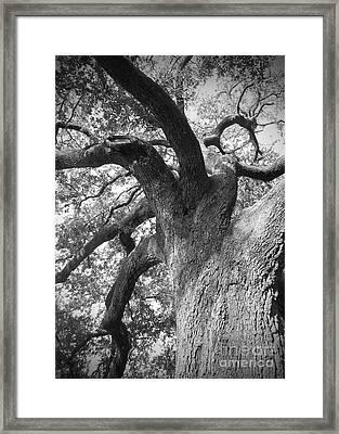 Live Oak Framed Print by Waverley Manson