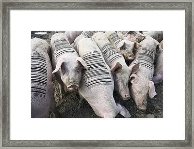 Livestock Research, Conceptual Image Framed Print by Victor De Schwanberg