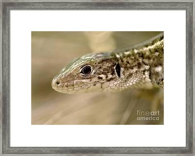 Lizard Portrait Framed Print by Odon Czintos