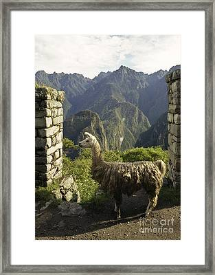 Llama On The Inca Trail Framed Print by Darcy Michaelchuk