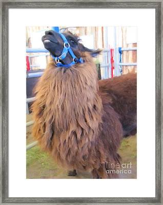 Llama Ready To Spit Framed Print