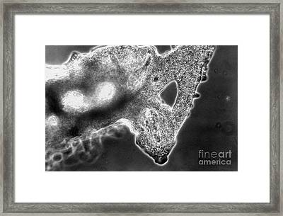 Lm Of Amoeba Catching Paramecium Framed Print by Eric V. Grave