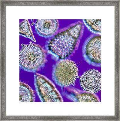 Lm Of An Assortment Of Radiolaria Framed Print by Pasieka