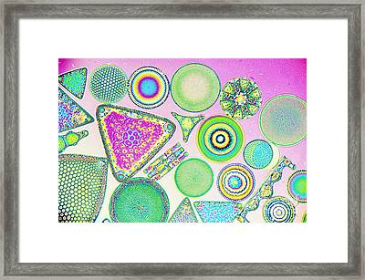 Lm Of Fossilized Diatoms Framed Print by M. I. Walker
