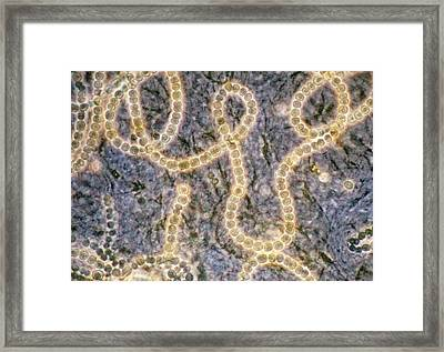 Lm Of Nostoc Sp Framed Print by Sinclair Stammers