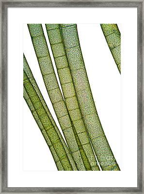 Lm Of Tubular Algae Framed Print by Raul Gonzalez Perez