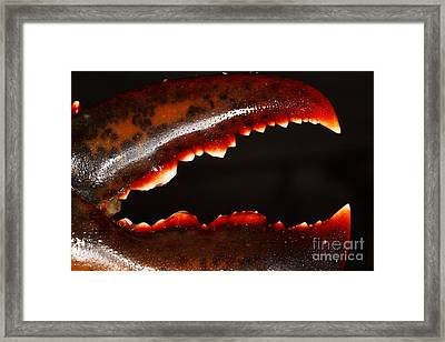 Lobster Claw Framed Print by Ted Kinsman