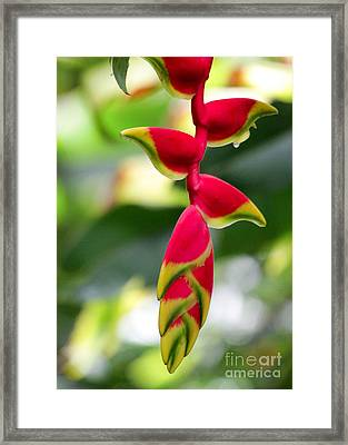 Lobster Claws Framed Print by Sabrina L Ryan