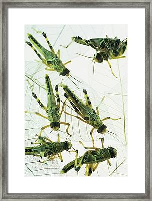 Locusts Framed Print by David Aubrey