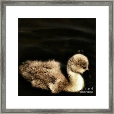 Lone Cygnet Framed Print by Isabella F Abbie Shores