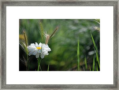 Framed Print featuring the photograph Lone Daisy by Amee Cave